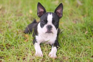 dixie Boston Terrier
