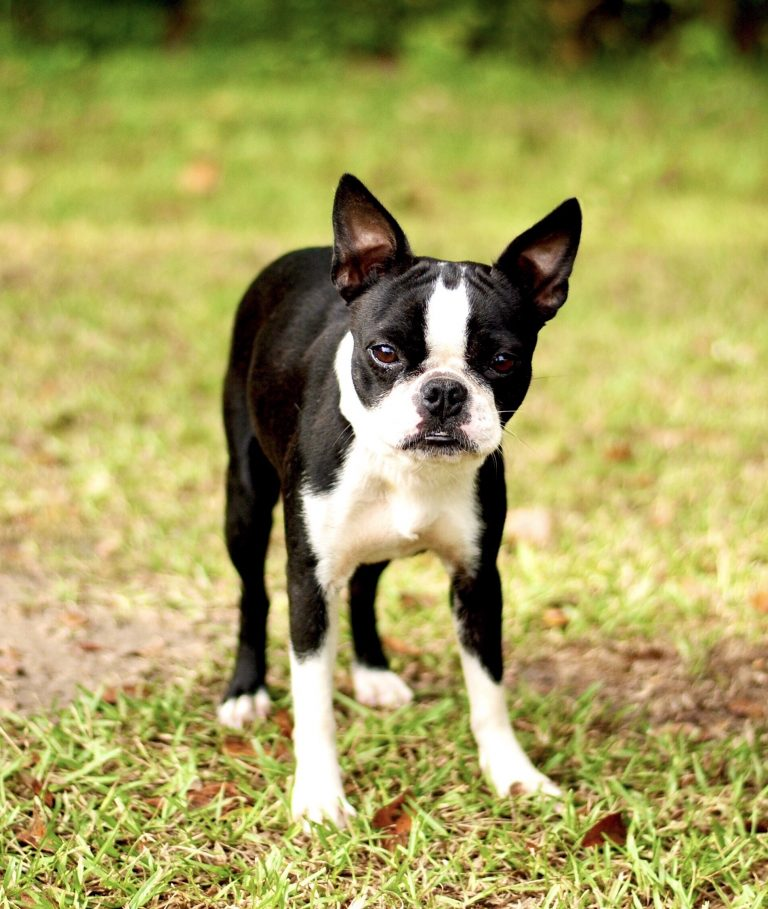 female Boston terrier picture