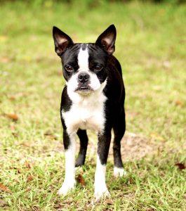female Boston terrier picture