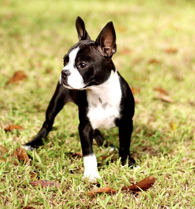 Betsy female Boston Terrier