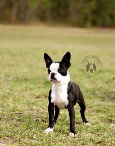 akc male Boston Terrier