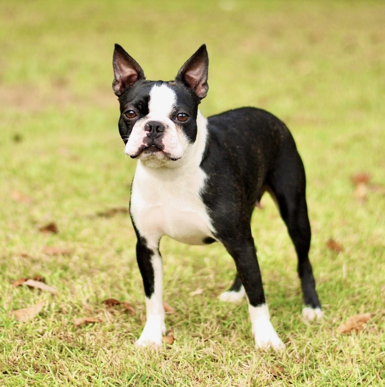 Dixie-southern-bred-boston-terrier-female