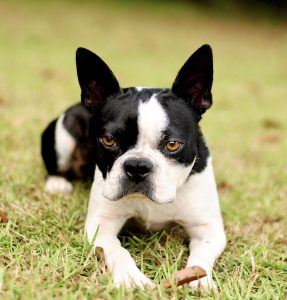 hunter male stud Boston Terrier